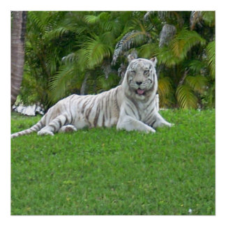 Smiling White Tiger and Palm Trees Poster
