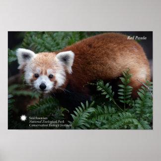 Smithsonian | Red Panda Poster