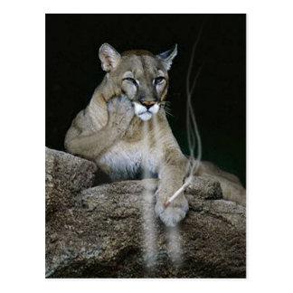 Smoker Puma Postcard