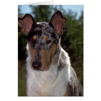 Smooth Collie Card