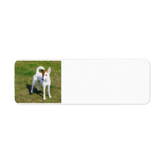 smooth fox-terrier-full