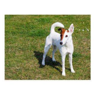 smooth fox-terrier-full postcard