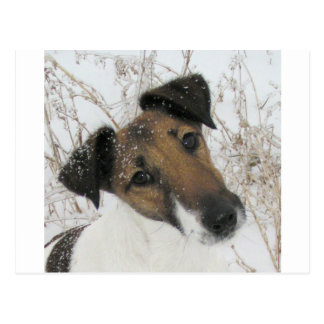 smooth fox terrier postcard