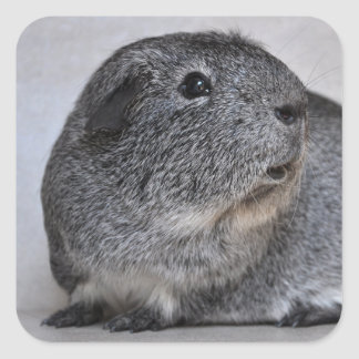 Smooth, Silver Agouti Guinea Pig Square Sticker