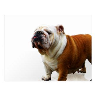 Smug Bulldog Postcard
