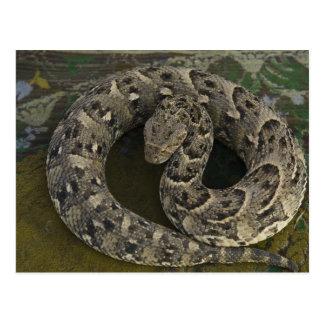 Snake Charmer's African Puff-adder Bitis Postcard