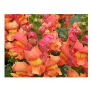 Snapdragon post card