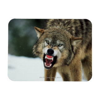 Snarling gray wolf magnet