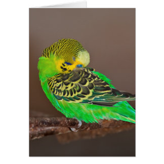 Snoozing Budgie Card