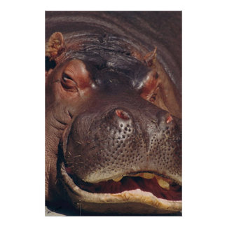Snoozing Hippopotamus Portrait Poster