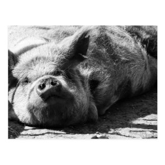 Snoozy piggy 1 post card