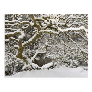 Snow-covered Japanese maple 2 Postcard