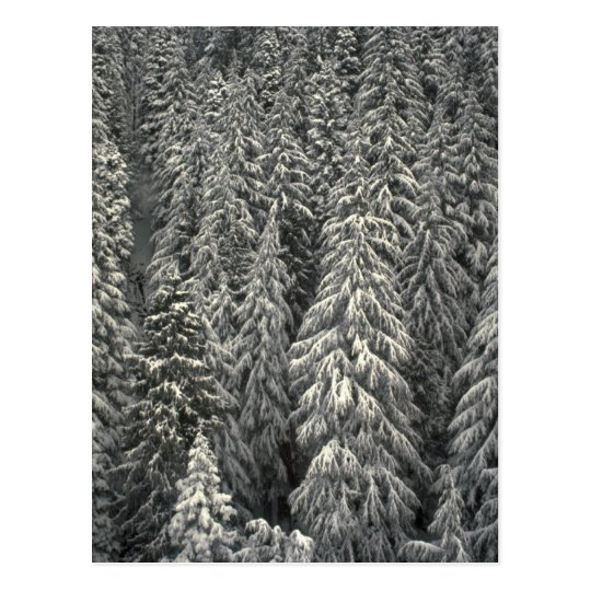 Snow-covered pine trees postcard