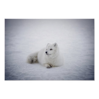 Snow Fox Resting Poster