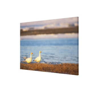 snow geese, Chen caerulescens, pair on a Stretched Canvas Print