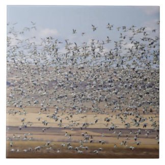Snow geese during spring migration 3 ceramic tiles