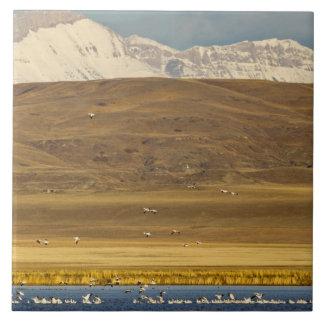 Snow geese during spring migration ceramic tile