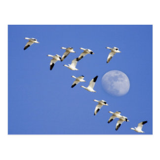 Snow geese take flight at Freezeout Lake NWR Postcard