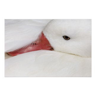 Snow Goose Chen caerulescens), captive in Poster
