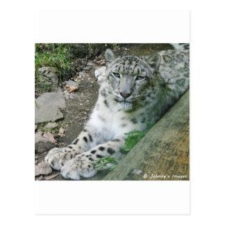 Snow Leopard 1 Postcard