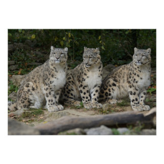 Snow leopard as poster