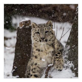 Snow Leopard Cub Perfect Poster