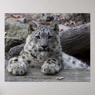 Snow Leopard Cub Sitting Poster
