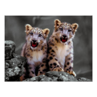 Snow Leopard Cubs Poster