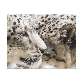 Snow Leopard Cuddle Canvas Print