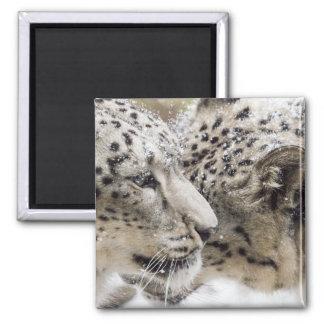 Snow Leopard Cuddle Magnet