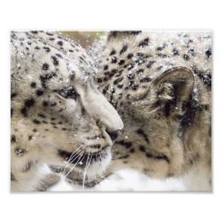 Snow Leopard Cuddle Photo Print
