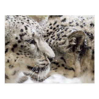 Snow Leopard Cuddle Postcard