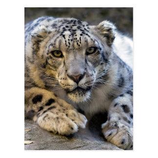 Snow Leopard Face Photo Postcard