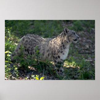 Snow leopard on brushy hillside poster