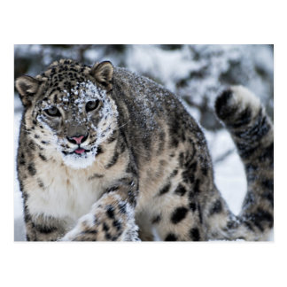 Snow Leopard on the Prowl Postcard
