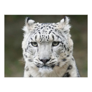 Snow Leopard Photographic Print