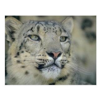 snow leopard postcard