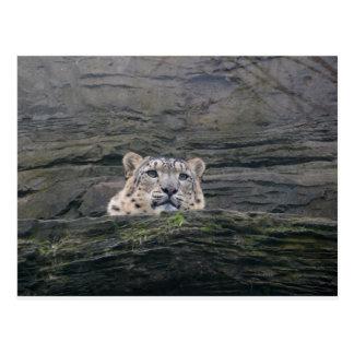 Snow Leopard Resting Postcard