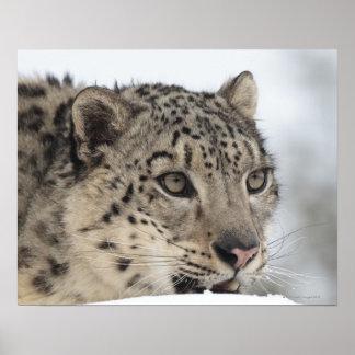 Snow leopard (Uncia uncia) 2 Poster