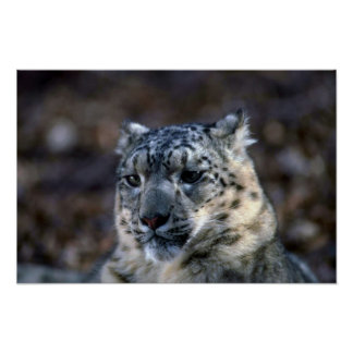 Snow Leopard-winter-close-up Poster