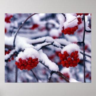 Snow on European Mountain Ash Berries, Utah. Poster