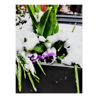 Snow pansy poster