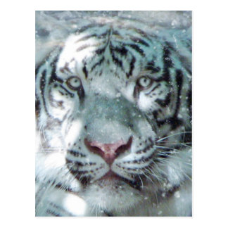 Snow White Tiger Postcard