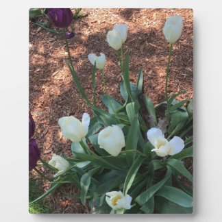 Snow white tulip type flowers in a garden plaque
