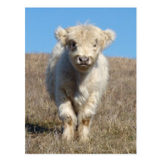 Snowball the Highland calf Postcard