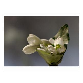 Snowdrop (Galanthus nivalis) Postcard