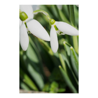 Snowdrops flowers poster