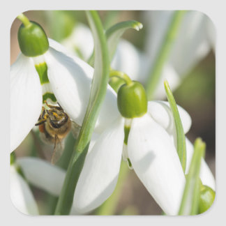 Snowdrops flowers square sticker