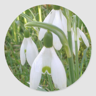 Snowdrops Sticker