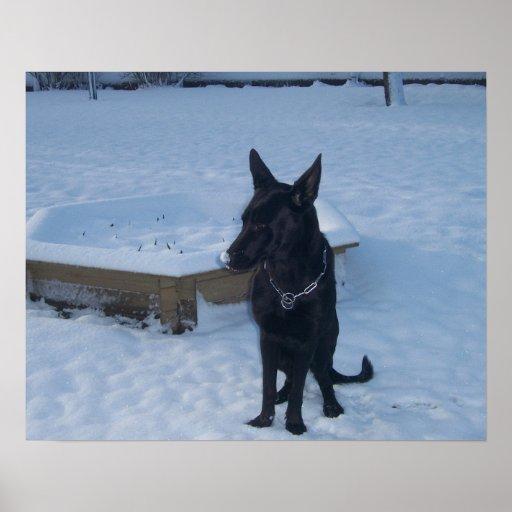 Snowy Black German Shepherd Poster